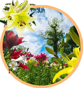 ゆりの開花時期イメージ